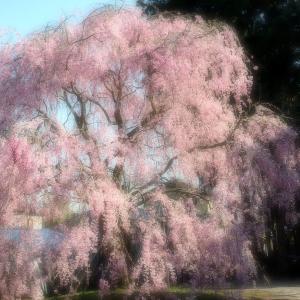 桜ソフトフォーカス(弥彦村内)