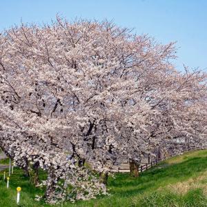桜(加治川治水公園)