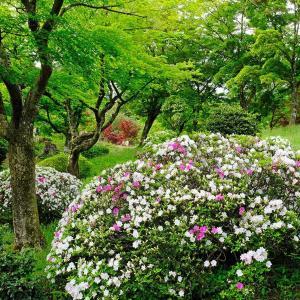新緑とツツジ(村松公園)