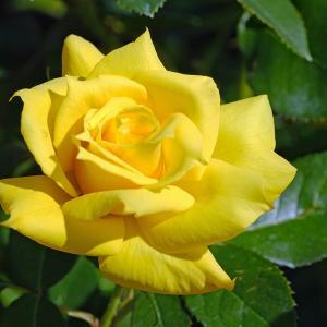 薔薇(越後丘陵公園)