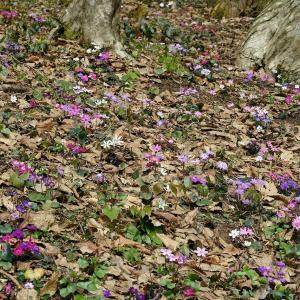 雪割草(雪国植物園)
