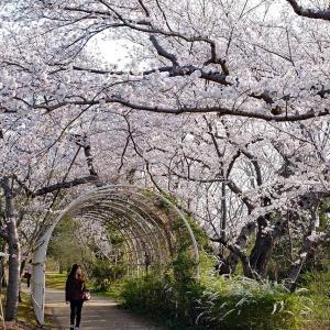 桜(鳥屋野潟公園女池)