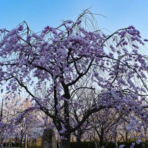 しだれ桜(鳥屋野潟公園女池)