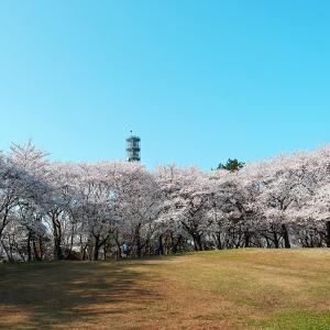 桜(鳥屋野潟公園鐘木)