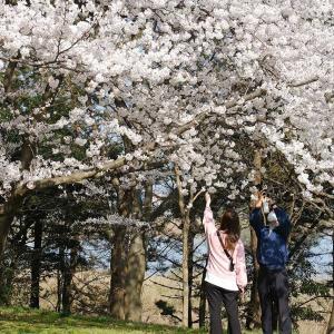 桜2(鳥屋野潟公園鐘木)