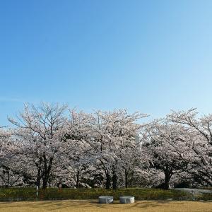 桜(白山公園)