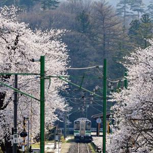 桜と電車(弥彦線)