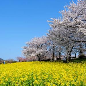 桜と菜の花(上堰潟)