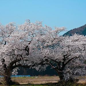 桜(上堰潟)