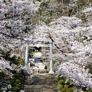 桜(弥彦神社)