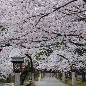 桜(弥彦公園)