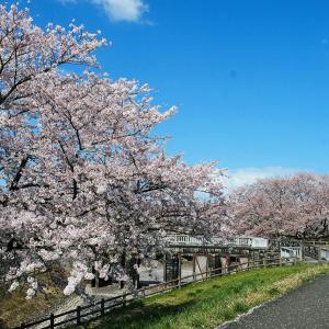加治川運河水門と桜