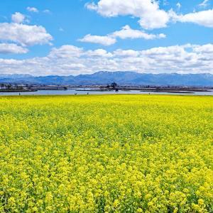 菜の花(福島潟)