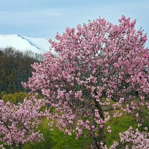 八重桜(白川湖キャンプ場)
