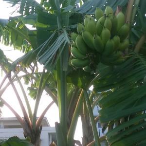 家のバナナ