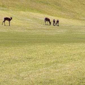 野生の鹿と遭遇:ゴルフ場