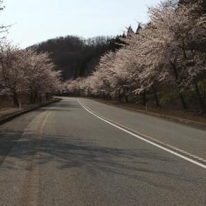 2020 サルビアロードin桜