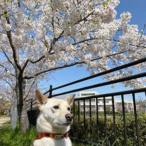 桜を、愛でる。