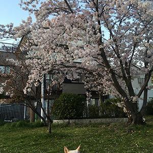 夕桜を、愛でる。