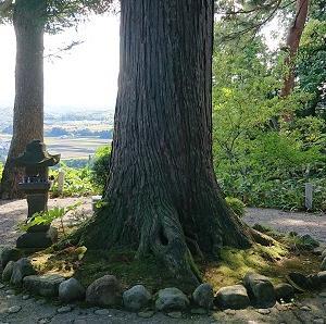 長生きのパワーをあたえる杉の木です