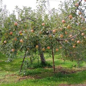 高野町のリンゴ園(^ー^)