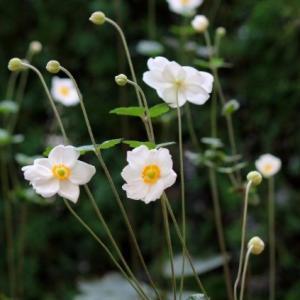 新 緑仙の日々是好日(秋明菊)