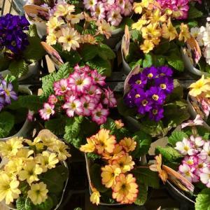 新 緑仙の日々是好日(春の花々 花木センター)