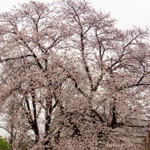 新 緑仙の日々是好日(花散らしの雨 霙 雪)
