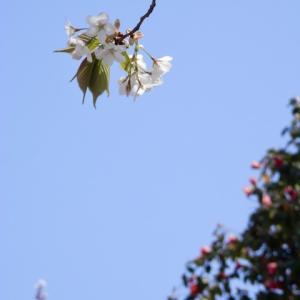 新 緑仙の日々是好日(2020 東京の桜は‥)