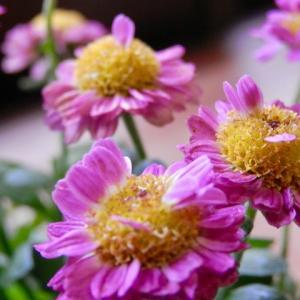 新 緑仙の日々是好日(小菊を仕立てる)