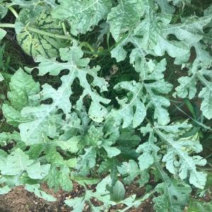 【菜園記】梅雨入り突入と同時に野菜も動く!