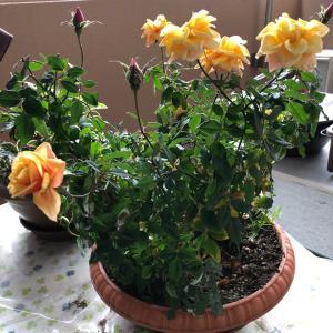 窓を開けて❗️   春の薔薇
