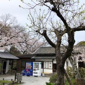 服部緑地公園の桜が満開でした!