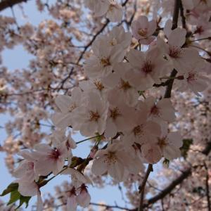 桜の写真、うまく撮れました
