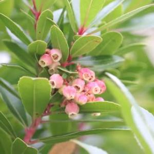 ◎イチゴノキの花&フレッシュリース