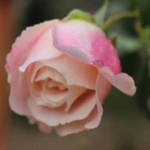 ☆最後のバラの蕾&◎正月花