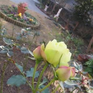 ☆鉢バラに固形肥料を置き肥