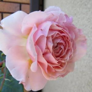 ☆ずっと鉢植えのウイリアム・モリス  2019庭バラ