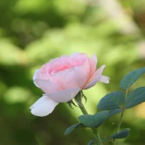 ☆真っすぐ上向き咲きの女王様のバラ~クイーン・オブ・スウェーデン&クイーンエリザベス