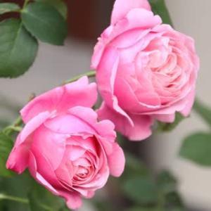 ☆ずっと鉢植えのシャンテ・ロゼ・ミサト