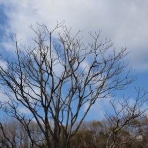 ◎もう咲いた♪ムラサキハナナ&植えた宿根プリムラ
