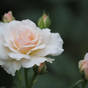 ☆シュシュ*ノヴァーリス*シャリファ・アスマの2番花