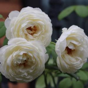 きょうの庭バラ&持ち帰りイタリアンで誕生会