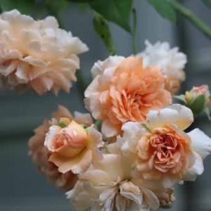 ☆雨のやみ間の庭バラ バフ・ビューティーetc