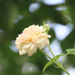 ☆まだ咲く庭バラ&シマトネリコにセミ