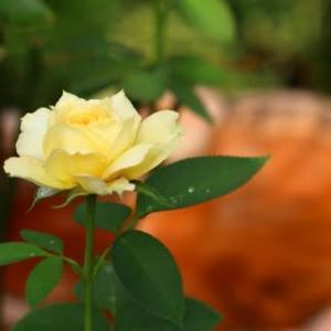 ☆雨後に咲いちゃった庭バラ&◎葉ボタン苗その後 9/5