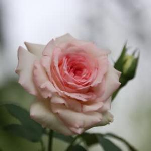 ☆ピエール1輪&芙蓉の花etc