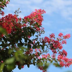 ☆きょうの庭バラ アブデルetc&◎スーパーアリッサム復活
