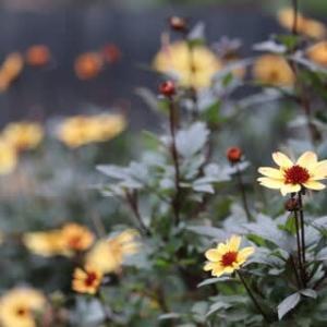 ◎ミニダリア ハミングブロンズ&寄せ植え&挿し木のサンパチェンス