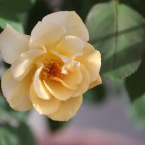 ☆咲いてきた秋バラ&こぼれ生えの花苗